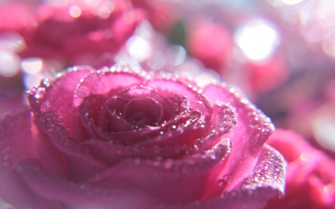 Pink rose flowers dew wallpaper 14